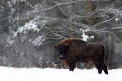 欧洲北美野牛在冬天森林里,与大棕色动物在自然栖所,在树的雪,波兰的冷的场面 图库摄影