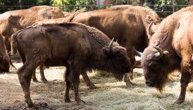 欧洲北美野牛牧群  免版税库存照片