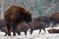 欧洲北美野牛野牛画象在狂放的自然的 在牧群的背景的强有力的成人欧洲北美野牛特写镜头在冬天 免版税库存图片