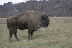 欧洲北美野牛,北美野牛bonasus 免版税图库摄影