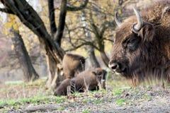 欧洲北美野牛(北美野牛bonasus)在狂放吃草 库存照片