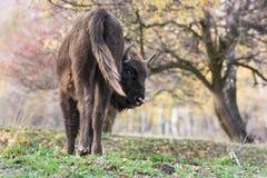 欧洲北美野牛(北美野牛bonasus) 库存图片