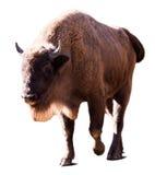 欧洲北美野牛 查出在白色 库存图片