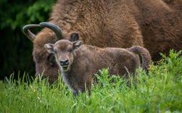 欧洲北美野牛-欧洲野牛小牛 免版税库存照片