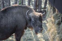 欧洲北美野牛(欧洲野牛) 库存图片