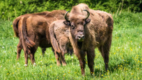 欧洲北美野牛-欧洲野牛 免版税库存照片