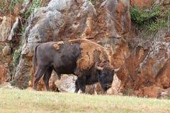 欧洲北美野牛 库存照片