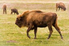 欧洲北美野牛 免版税库存照片