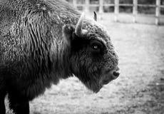 欧洲北美野牛 库存图片