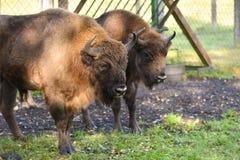 欧洲北美野牛& x28; wisent& x29;在一个繁殖的农场 库存图片