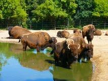 欧洲北美野牛- zubr (北美野牛bonasus) -成群在水中 免版税库存照片