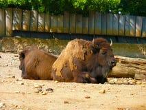 欧洲北美野牛- zubr (北美野牛bonasus) 图库摄影
