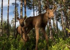 欧洲在越桔灌木的麋驼鹿属驼鹿属两双小牛 库存图片