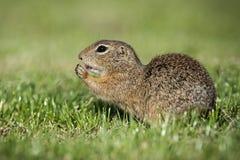 欧洲地松鼠吃着 免版税库存图片