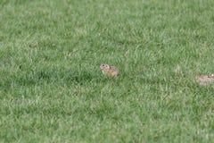 欧洲地松鼠在春天 库存照片