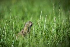 欧洲地松鼠观看 免版税库存照片