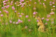 欧洲地松鼠,地面松鼠类黄鼠属,坐在与桃红色花绽放的绿草在夏天期间,细节动物po 库存图片