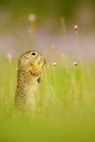 欧洲地松鼠,地面松鼠类黄鼠属,坐在与桃红色花绽放的绿草在夏天期间,细节动物po 图库摄影