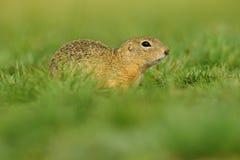 欧洲地松鼠,地面松鼠类黄鼠属,坐在绿草在夏天期间,捷克语 免版税库存图片
