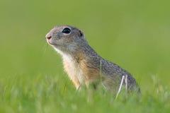欧洲地松鼠,地面松鼠类黄鼠属 库存照片
