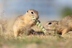欧洲地松鼠,拉特 地面松鼠类黄鼠属 库存图片