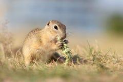 欧洲地松鼠,拉特 地面松鼠类citellu 免版税库存图片