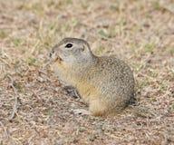 欧洲地松鼠,黄鼠属黄鼠属 库存图片