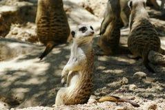 欧洲地松鼠(地面松鼠类黄鼠属、suslik,地鼠) 免版税库存照片