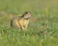 欧洲地松鼠-地面松鼠类黄鼠属 免版税图库摄影