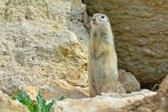 欧洲地松鼠 库存照片