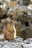 欧洲地松鼠 免版税库存图片