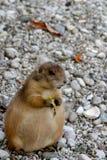 欧洲地松鼠 图库摄影