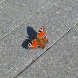 欧洲孔雀铗蝶关闭 库存图片
