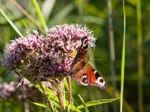 欧洲孔雀,在开花的杂草特写镜头的Inachis io, 库存照片