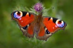 欧洲孔雀, Aglais io,与眼睛的红色蝴蝶坐在自然的桃红色花 从草甸的夏天场面 胡子 免版税库存照片