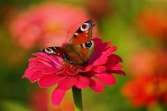 欧洲孔雀(Aglais io)在百日菊属 库存照片