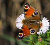 欧洲孔雀(Aglais Io)蝴蝶 库存图片