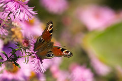 欧洲孔雀(Aglais Io)蝴蝶 库存照片