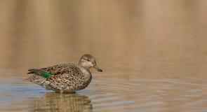 欧洲小野鸭 库存图片