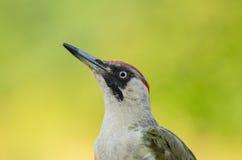 欧洲山啄木-皮库斯viridis 库存图片