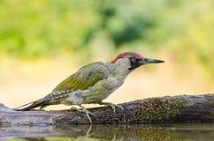 欧洲山啄木-皮库斯viridis 免版税库存照片
