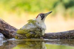 欧洲山啄木-皮库斯viridis 库存照片