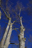 欧洲山毛榉树 库存图片