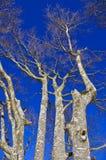 欧洲山毛榉树 库存照片
