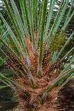 欧洲扇形棕榈树 免版税库存照片