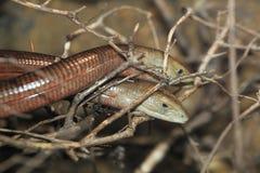 欧洲无腿的蜥蜴 免版税图库摄影