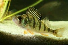 欧洲栖息处,鲈鱼属fluviatilis鱼 库存照片