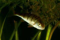 欧洲栖息处,鲈鱼属fluviatilis 免版税库存照片