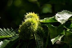 欧洲栗木(漂白亚麻纤维的栗属) 库存照片