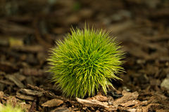欧洲栗木(漂白亚麻纤维的栗属) 免版税图库摄影